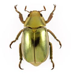 The Gold Scarab beetle