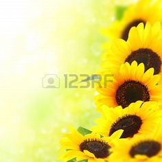 Beautiful yellow sunflowers with a blurred background