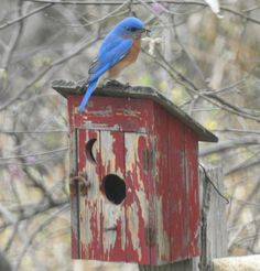 Sheila Stritzke Mackey ~ Snapshot Texas - Out house shopping.  Found this Eastern Bluebird in North Texas March 9, 2017. ❤
