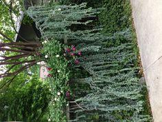 Roses, clematis, wheeling blue cypress