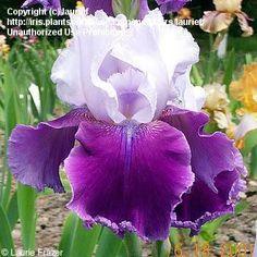 Full size picture of Tall Bearded Iris 'Gay Parasol' (<i>Iris</i>)