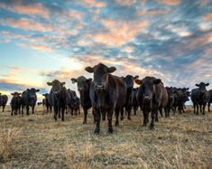 Sunset cow photo print  Angus cattle ranch by TeriJamesPhotography