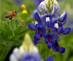 The Bee and the Bluebonnet