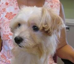 Felix is an adoptable Maltese Dog in High Point, NC. Take a look at that absolutely precious face, then look at picture #3. That was the shape we found this 5# baby doll in and he was on a 5 foot chai...