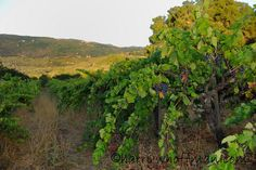 Tour the secluded organic vineyards and gardens of Coturri Winery on the A Little Bit of Both package.