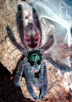Avicularia Versicolor (adult) The genus Avicularia are distinguished by their… Big Animals, Funny Animals, Spider Drawing, Types Of Spiders, Cool Insects, Itsy Bitsy Spider, Pets 3, Beautiful Bugs, Funny Animal Pictures