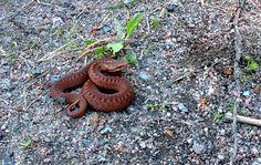 Ruskea ja komea pikkukyy. Brown and a small viper