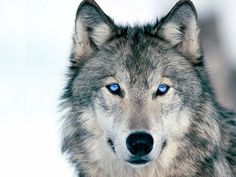 This is what my Dog use to look like except, one eye was brown and the other blue