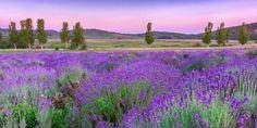 Lavendel lindert Beschwerden bei Migräne