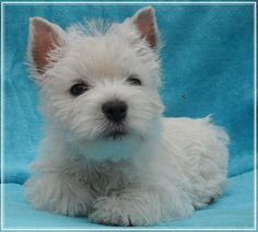 West Highland Terrier Dog More