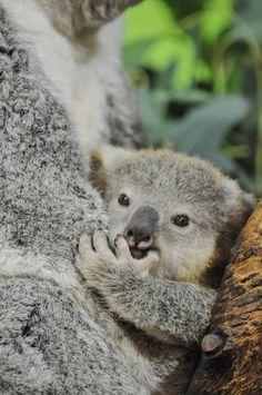 Koala care.