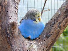 Yellow headed cobalt baby budgie