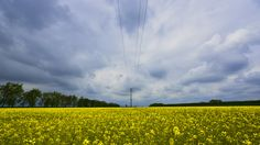 colza, clouds and pylons - walking through colza and clouds on a cold spring morning