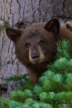 Bear Cub in Pine Tree by *eaross