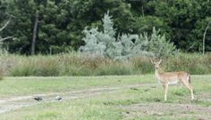 "Young deer in Lido degli Estensi - ""Adventures in the Po Delta"" by @crowdedplanet"