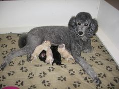 Tidelands Poodle Club of Virginia - Puppies!