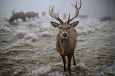 A red deer is pictured on frosty ground in Richmond Park