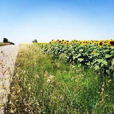 Sunflower field in Turkey. Photo courtesy of denaoc on Instagram.