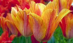 Tulip El Nino (Yellow/Orange/Rose, This tulip is beautifully indecisive. Its flowers can be red and rose, amber and rose, or all thr. Tulip Bulbs For Sale, Orange Plant, Orange Roses, Spring Weather, Flower Beds, Tulips, Plants, Garden Tips, Amber