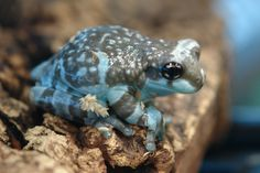 Amazon Milk Frog