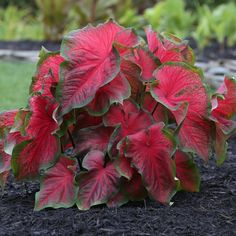 Caladium Dragon Heart A compact caladium with blazing, scarlet red foliage surrounded by dark green margins. Suitable for full to part shade.