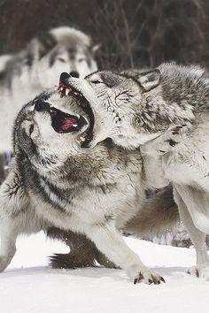 It may consist of a single breeding pair, the Alpha Wolf must be male and female, a lower group consisting of non-breeding. Wolf Spirit, Spirit Animal, Beautiful Creatures, Animals Beautiful, Animals And Pets, Cute Animals, Wolf Love, She Wolf, Wild Wolf