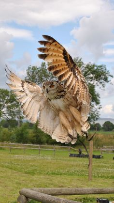 owl, flap, wings, birds, predators