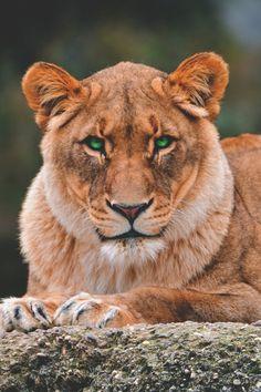 Lying+lioness