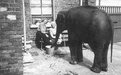 Because of the bombing in 1941, many animals in the Belfast Zoo were killed due to fears of them escaping.  This baby elephant named Shelia was kept for months in this unknown woman's backyard, until it was safe for her to return to the zoo.  Happily Sheila went on to survive the war, living another 25 years until her death at the zoo in 1966. Awful :(