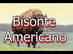 El Bisonte americano o búfalo de las praderas y llanuras