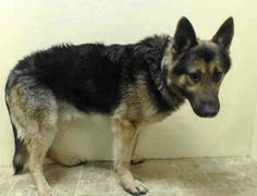 SUPER URGENT 3/2/14! **SENIOR** Brooklyn Center . GARY - A0992952 MALE, BLACK / TAN, GERM SHEPHERD, 10 yrs. HE SCORED A GREEN EVALUATION. FRIENDLY AND SWEET, JUST NERVOUS AND NEEDS OUT!