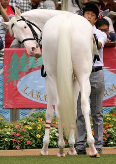 Such a white horse Most Beautiful Horses, All The Pretty Horses, Thouroughbred Horse, Draft Horses, Horse Mane Braids, Thoroughbred, Andalusian Horse, Friesian Horse, Arabian Horses