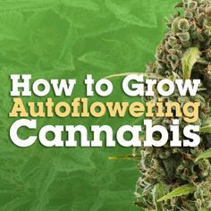 How to Grow Autoflowering Cannabis