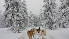 Lapland #luosto #snow #travel #winter #nature #holiday #huskytour Snow Travel, Oh The Places You'll Go, Finland, Husky, National Parks, Tours, Winter, Holiday, Nature