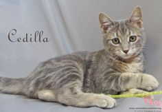 Cedilla has been adopted! Cedilla is one of the four tiny kittens we rescued on a very cold day a few months ago. They were ice cold, one  was unconscious, no mom, and in grave danger. All of them rebounded - a total miracle! And now little Cedilla has been adopted. Just had a report from the family and Cedilla has blended well with their other kitty, they all sleep together, and Cedilla gives them kisses on the chin every night.