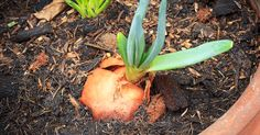 grow foods from the food scraps so you will not have to buy these foods again. This is simple and takes very little space-you do not need to have a big garden, these can often be grown in containers.