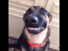 Try not to laugh while watching Funny Dog Videos Compilation The best and funniest dogs videos ever :) Hope you like this funny dog compilation, please Animal Jokes, Funny Animal Memes, Cute Funny Animals, Funny Animal Pictures, Cute Baby Animals, Funny Cute, Animal Funnies, Big Animals, Hilarious