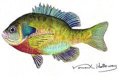 Beautiful Blue Gill Sunfish Watercolor Print by normanhollowayart, $8.00