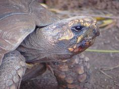 Yellow Footed Tortoise.