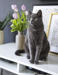 russian blue cat on white table photo – Free Cat Image on Unsplash White Tabby Cat, Silver Tabby Cat, Orange Tabby Cats, Grey Cats, Blue Cats, Background Macbook, Chats Tabby Oranges, Cat Alice, International Cat Day