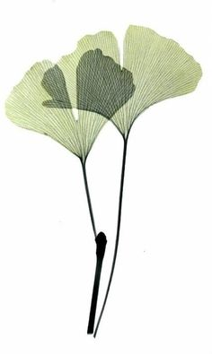 Ginkgo leaves X-rayography (image Albert Koetsier) Illustration Blume, Botanical Illustration, Watercolor Leaves, Watercolor Paintings, Arte Floral, Art Graphique, Leaf Art, Floral Illustrations, Botanical Prints