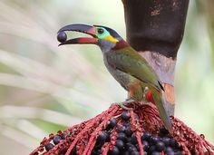 Foto araçari-negro (Selenidera piperivora) por Anselmo d`Affonseca | Wiki Aves - A Enciclopédia das Aves do Brasil