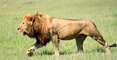powerful male lion strides across the plains in Singita Lamai Lion Walking, Lion Sketch, Lions Photos, Lion And Lioness, Lion Love, Male Lion, Lion Pictures, Wild Creatures, Cat Photography