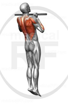 High-end medical image : The muscles involved in chin-ups. The agonist (active) and stabilizer muscles are highlighted. Pull Up Workout, Body Sculpting Workouts, The Agonist, Yoga Anatomy, Chin Up, Workout Rooms, Upper Body, Perfect Body, Just Do It