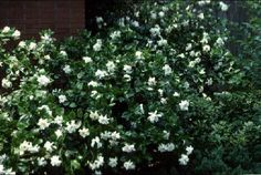 Gardenias found in 1730   Tinsleypic Blog...totally allergic, but the fragrance is to die for