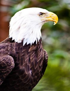 Bald Eagle in Color Fine Art Photograph