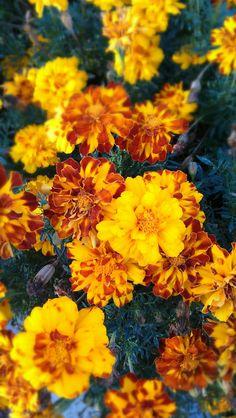 Marigolds-Passion and Creativity