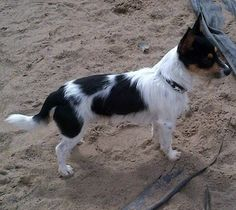 Henry – 16 month old male Jack Russell Terrier cross Chihuahua dog for adoption at Rochdale Dog Rescue