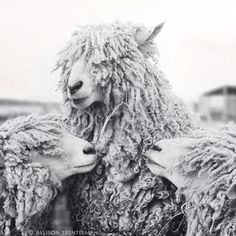 Sheep with Backup Singers