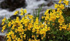 mimulus florais de bach - Pesquisa Google